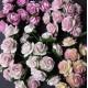 Розы 1 см