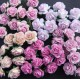 Розы 1.5 см